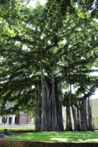 A_Honolulu_Banyan_tree_1
